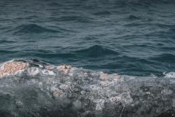 Grey whale's blowholes. Grey Whale birthing area. Laguna ojo de liebre. Guerrero Negro. Baja California Sur. Mexico.