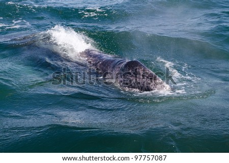 Grey whale young spout, Baja California, Mexico
