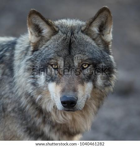 Grey Wolf Animal #1040461282