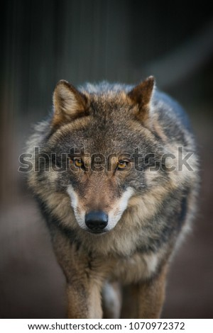 Grey Wolf (Canis lupus) #1070972372