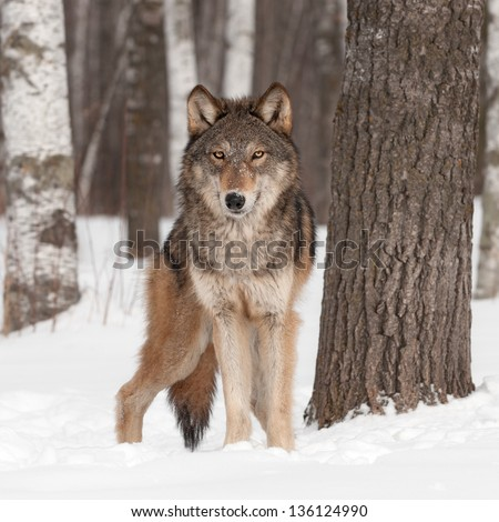 Grey Wolf (Canis lupus) Looks Forward - captive animal #136124990