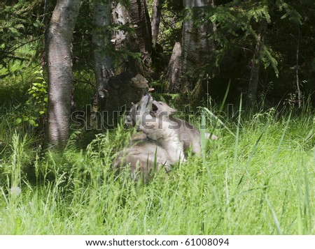 Grey wolf (canis lupus) mother plays with her young puppy in a forest meadow.