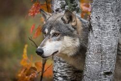 Grey Wolf (Canis lupus) Pokes Head Between Birch Trees Autumn - captive animal