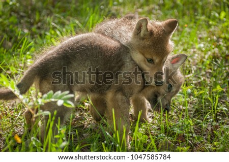 Grey Wolf (Canis lupus) Pup Jumps on Sibling - captive animals