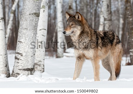 Grey Wolf (Canis lupus) Stands Towards Left - captive animal #150049802