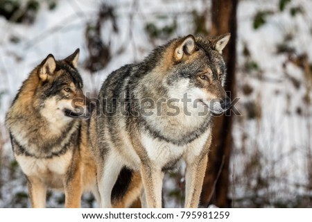 Grey wolf, Canis lupus, two wolves standing in a snowy winter forest.