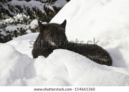 Grey Wolf in the snow