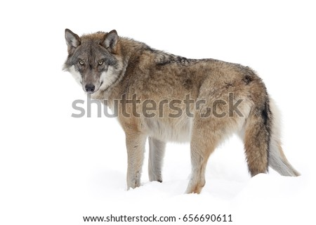 Grey wolf isolated on white