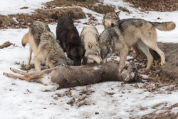 Grey Wolves (Canis lupus) Gather at Deer Kill Winter - captive animals