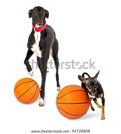Greyhound dog and toy dog  with a basketballs on white background