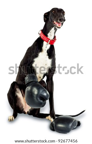 Greyhound dog, 18 months old, in boxing gloves