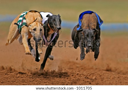 Greyhounds at full speed during a race