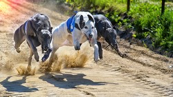 Greyhounds racing against each other