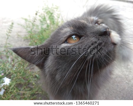 Greyish furry cat with orange eyes and its moustache #1365460271