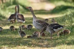 Greylag geese (bird: Anser anser) in nature out for a family stroll. The cute goslings follow their parents and graze. Animals in spring on a sunny day in Waghäusel, Germany.