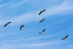 Greylag geese in the sky