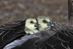 Greylag goose, Anser anser, chick, London, spring