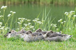 Greylag Goose (Anser anser) family with young goslings on land. Young Greylag Goose goslings.