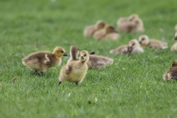 Greylag goose (Anser anser) gosling in a field with other goslings in the background