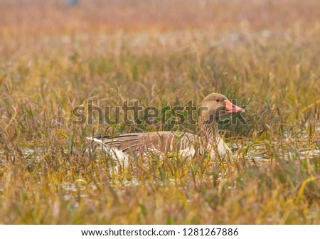 Greylag goose, bharatpur bird sanctuary  #1281267886