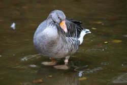 Greylag goose. Bird and birds. Water world and fauna. Wildlife and zoology. Nature and animal photography.