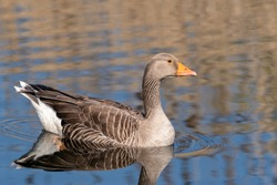 Greylag Goose Floating on water