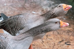 Greylag goose hissing to protect flock