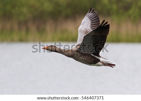 Greylag Goose in flight. A greylag goose flies purposefully over an expanse of water. #546407371