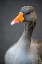 Greylag goose in Kelsey Park, Beckenham, London. Head of a greylag goose with body out of focus. Greylag geese are common in Kelsey Park, Beckenham, Kent. Greylag goose (Anser anser), UK.