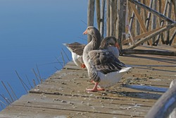 Greylag goose or geese Latin anser anser family anatidea on a jetty in Colfiorito nature reserve in Umbria in Italy
