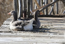 Greylag goose or geese resting push-me-pull-you style Latin anser anser family anatidea on a jetty in Colfiorito nature reserve in Umbria in Italy