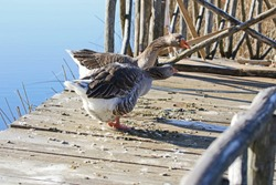 Greylag goose or geese stretching and honking Latin anser anser family anatidea by a lake on a jetty in Colfiorito nature reserve in Umbria in Italy