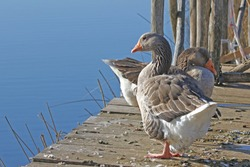 Greylag goose or geese waddling and sleeping Latin anser anser family anatidea on a jetty in Colfiorito nature reserve in Umbria in Italy