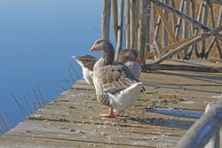 Greylag goose or geese waddling Latin anser anser family anatidea by a lake on a jetty in Colfiorito nature reserve in Umbria in Italy