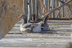 Greylag goose or pair of greylag geese resting Latin anser anser family anatidea on a jetty in Colfiorito nature reserve in Umbria in Italy