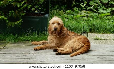 Griffon Fauve de Bretagne a hunting dog Stock fotó ©