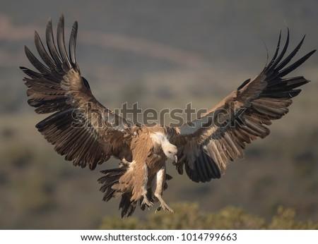 Griffon vulture coming down Foto stock ©