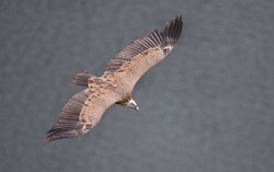 Griffon vulture flying over Uvac river canyon in Serbia, top view