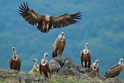 Griffon Vulture, Gyps fulvus, big birds of prey sitting on the stone on rocky mountain, nature habitat, Madzarovo, Bulgaria, Eastern Rhodopes. Wildlife scene from Balkan.