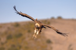 Griffon vulture (Gyps fulvus) flying and preparing for landing in Spanish Pyrenees, Catalonia, Spain, April. This is a large Old World vulture in the bird of prey family Accipitridae.