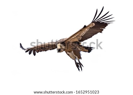 Griffon vulture (Gyps fulvus) flying isloated on white background in Spanish Pyrenees, Catalonia, Spain, April. This is a large Old World vulture in the bird of prey family Accipitridae.