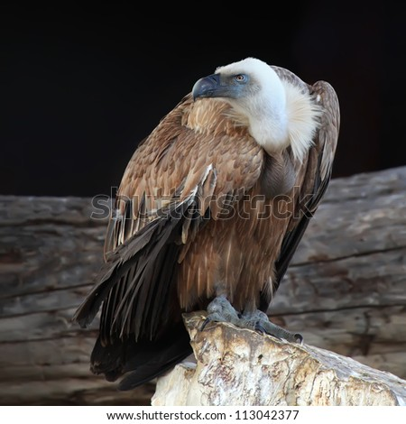 Griffon vulture (Gyps fulvus) in side angle view with black background