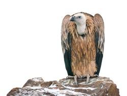 Griffon vulture (Gyps fulvus) on white backgound.