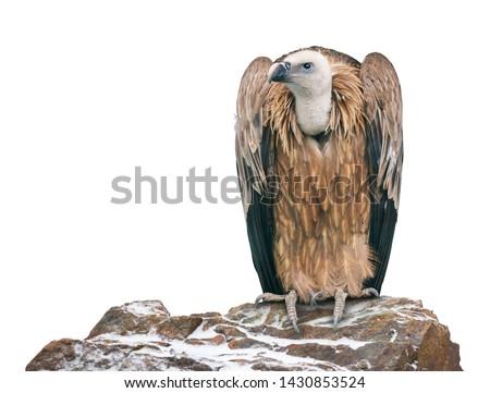 Griffon vulture (Gyps fulvus) on white backgound.  Foto stock ©