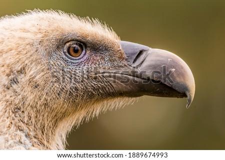 griffon vulture gyps fulvus perched Foto stock ©