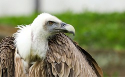 Griffon vulture gyps in nature