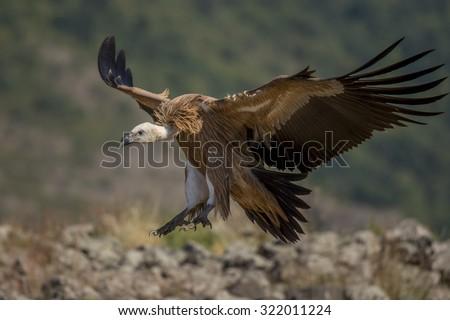 griffon vulture in flight Foto stock ©