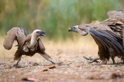 Griffon Vulture in Monfragüe National Park