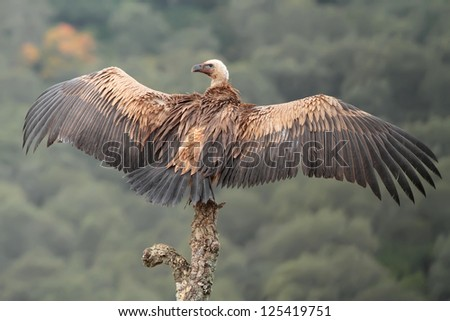Griffon vulture in the dry tree