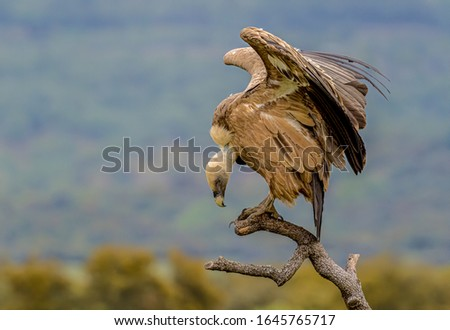 Griffon vulture or Eurasian griffon (Gyps fulvus) looking down from a top of the branch; region Castile and León, Spain, 15-04-2019. Foto stock ©